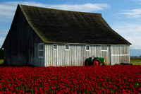 Red Tulips, Barn, and Tractor